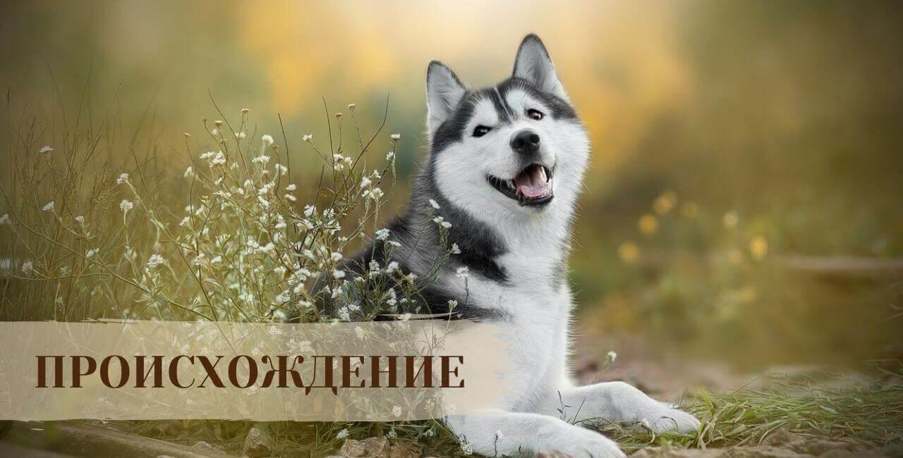 История Сибирской хаски