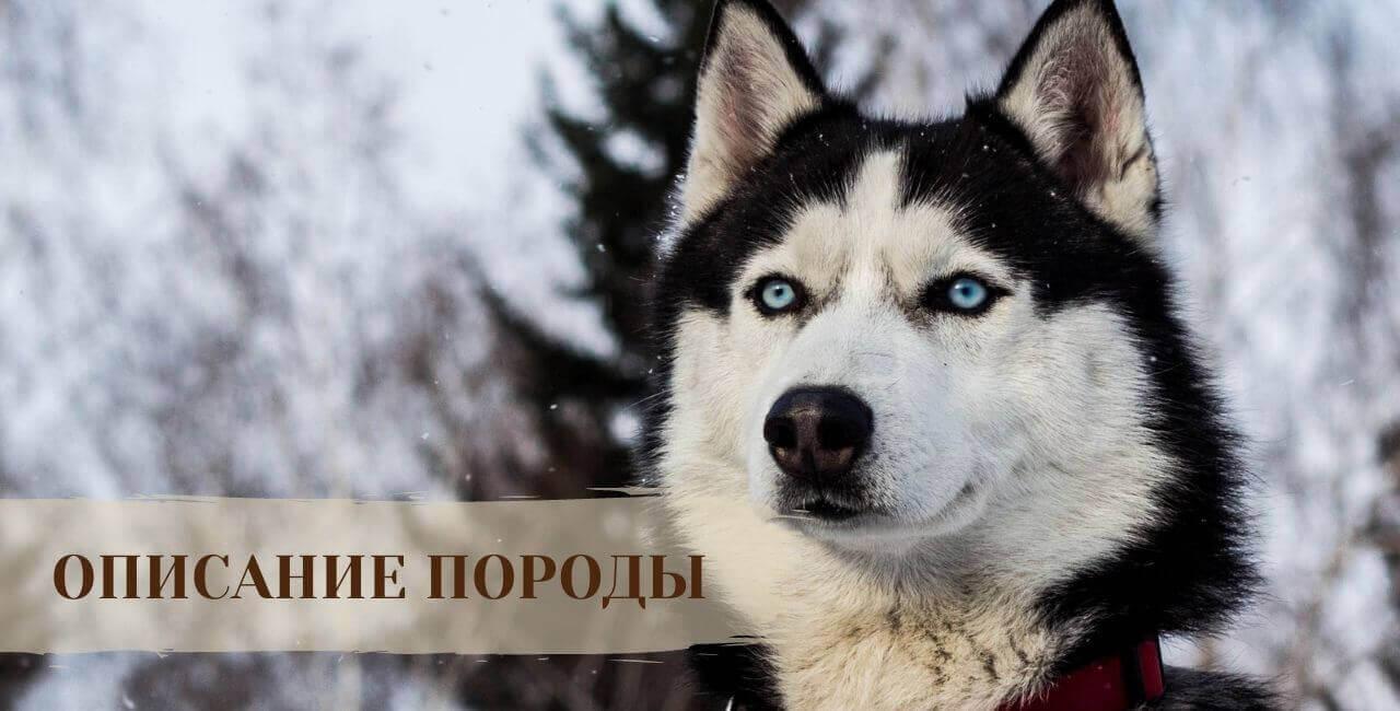 Описание Сибирской хаски