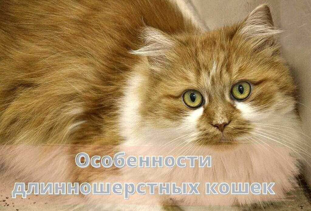 длинношерстные рыжие кошки
