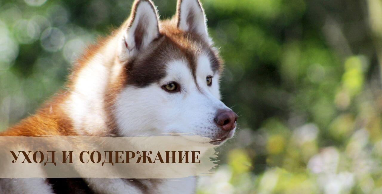 Содержание Сибирской хаски