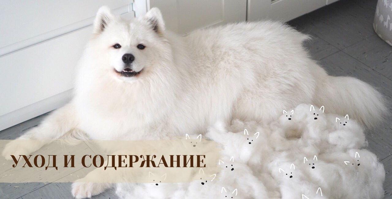 Содержание Самоедской собаки