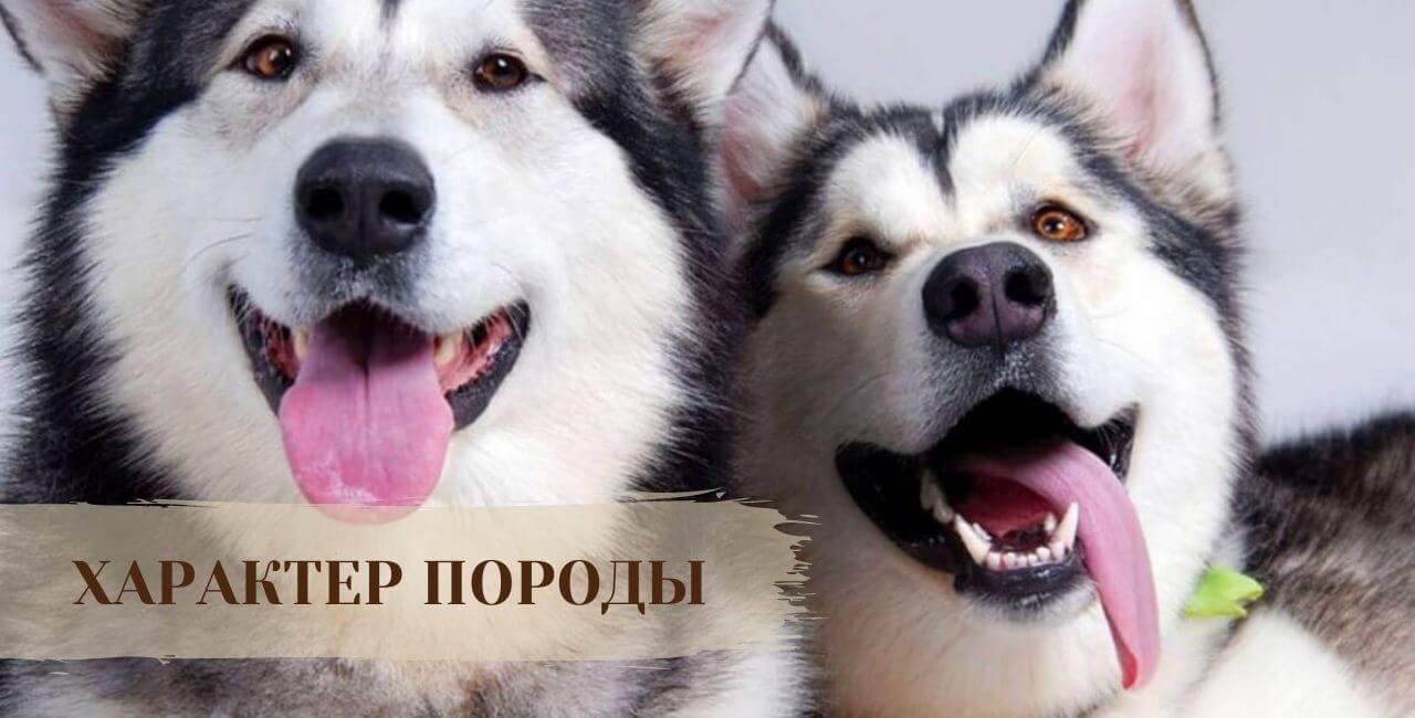 Характер Сибирской хаски
