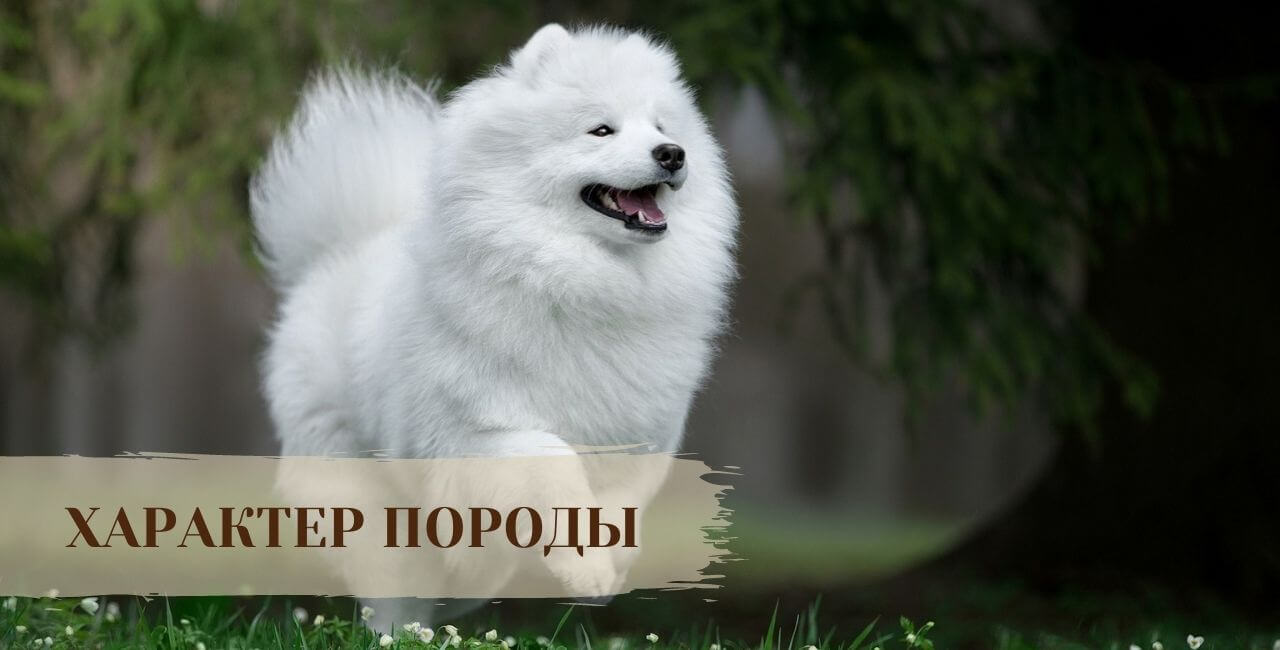 Характер Самоедской собаки