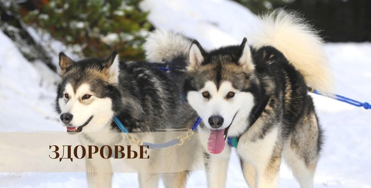 Здоровье Сибирской хаски