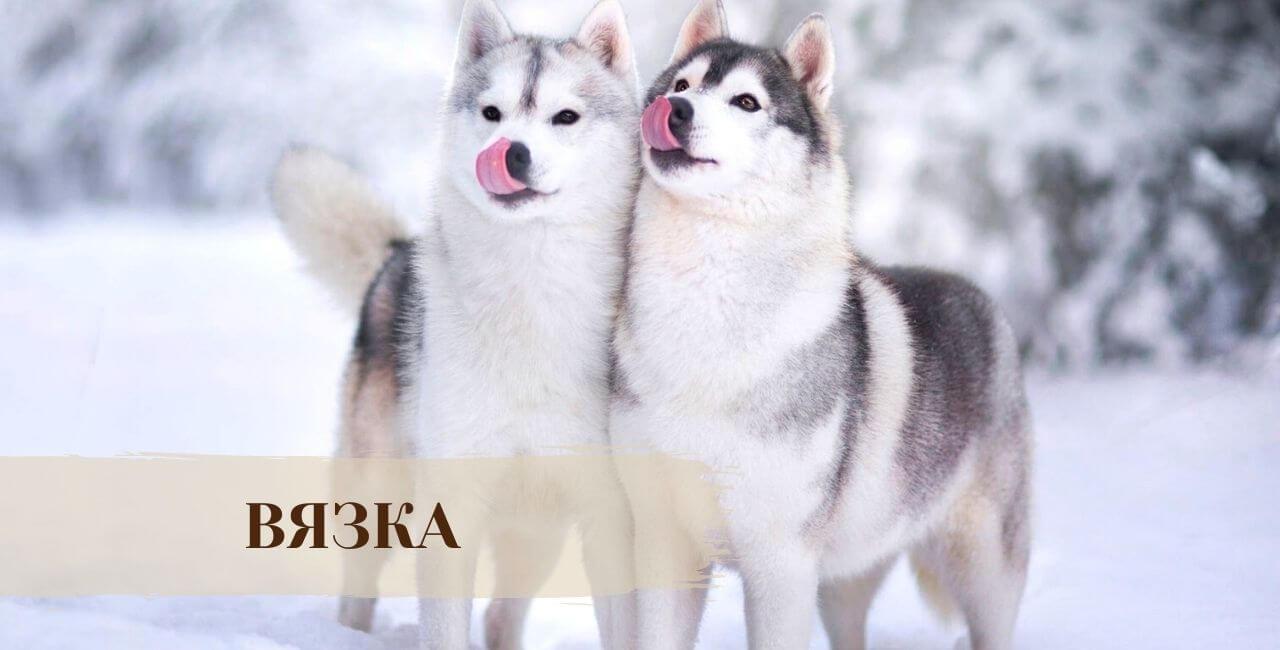 Вязка Сибирской хаски