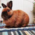 10 самых милых пород декоративных кроликов