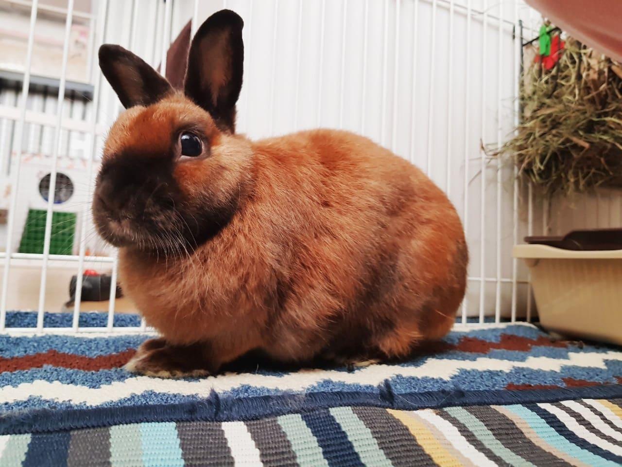 Японский карликовый кролик