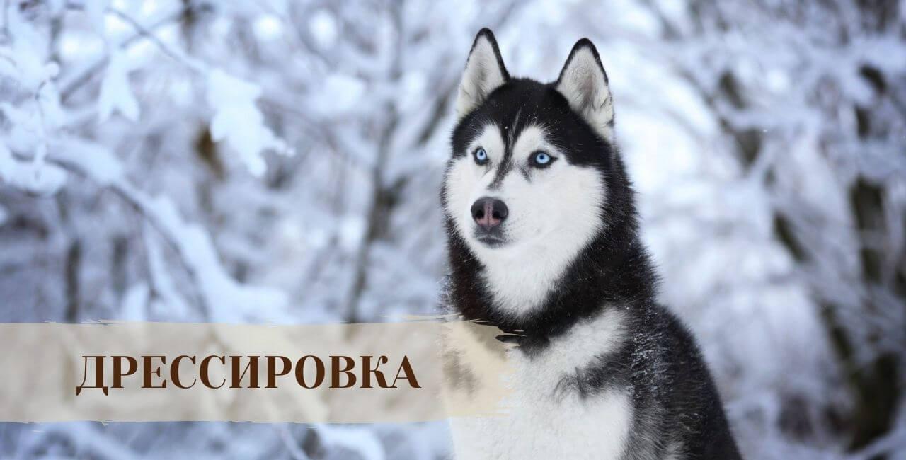 Дрессировка Сибирской хаски