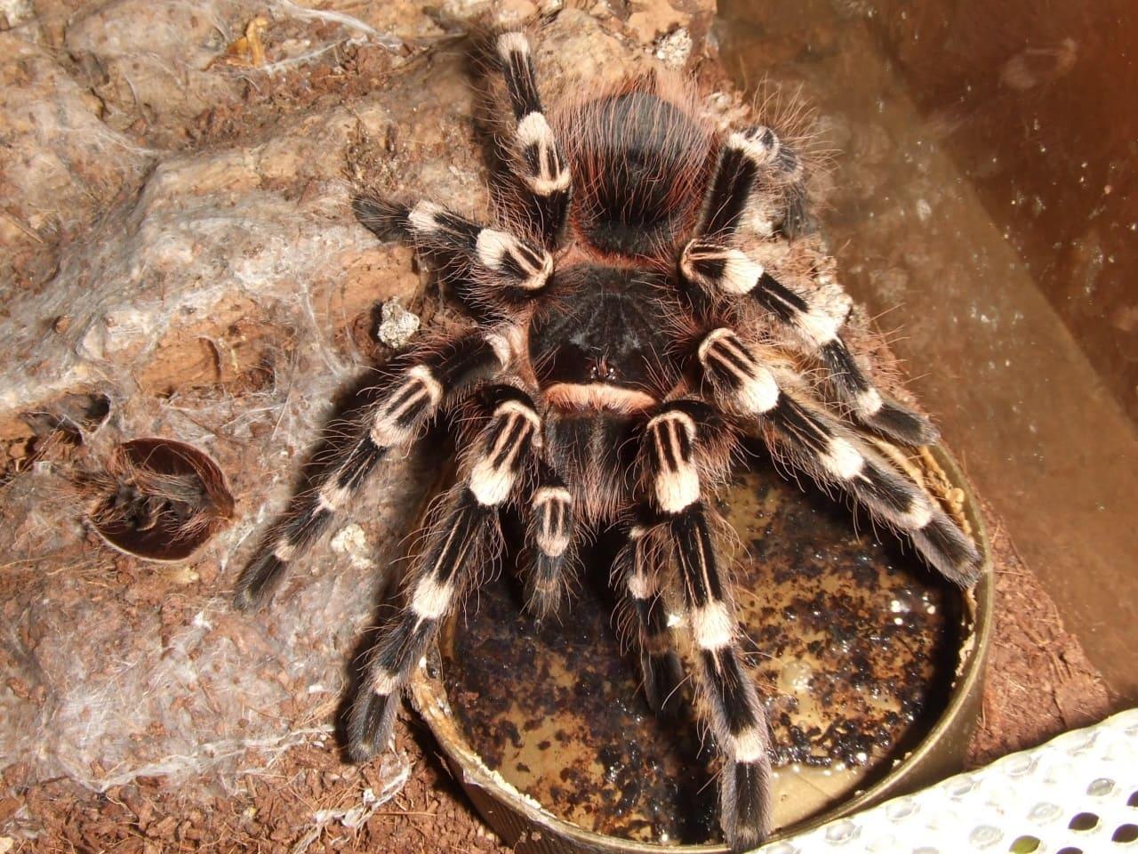 Белоколенный паук птицеед