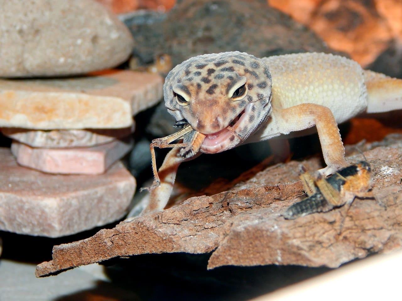 Питание гекконов