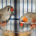 Домашние птицы амадины – правила содержания