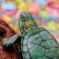 Как лечить конъюнктивит у красной черепахи