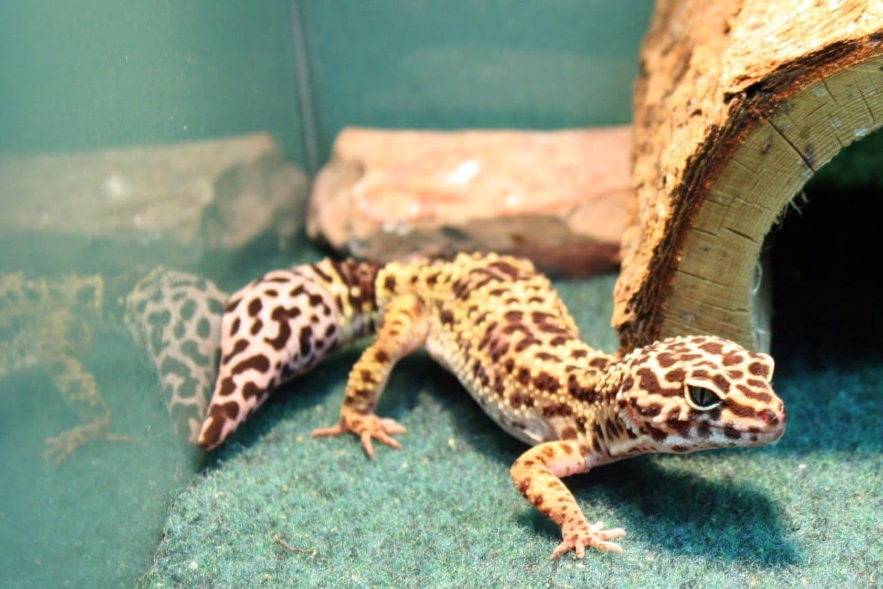 Виды гекконов
