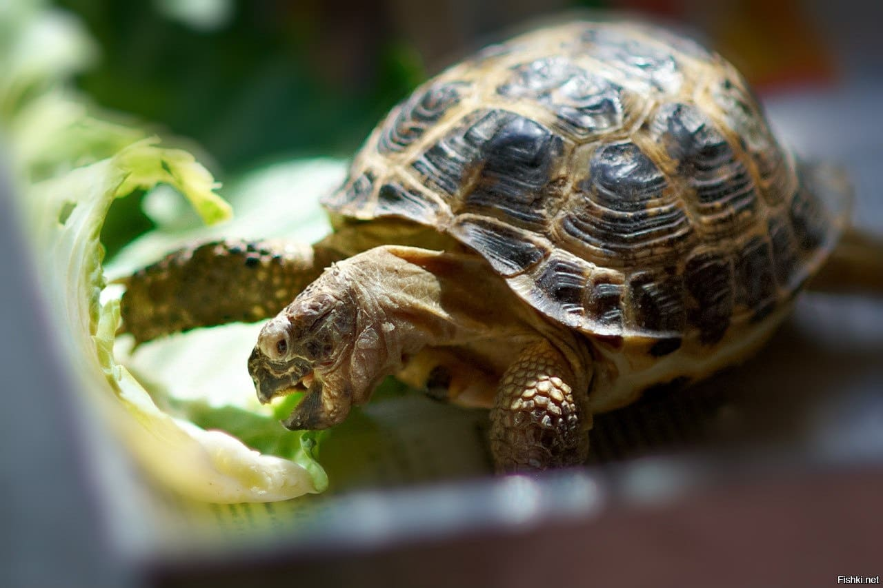 Подготовка черепахи к спячке