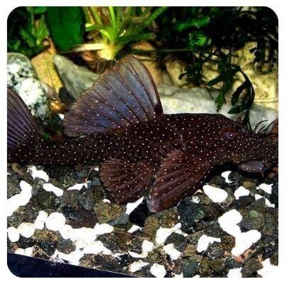 Сомик аквариумный агамикс