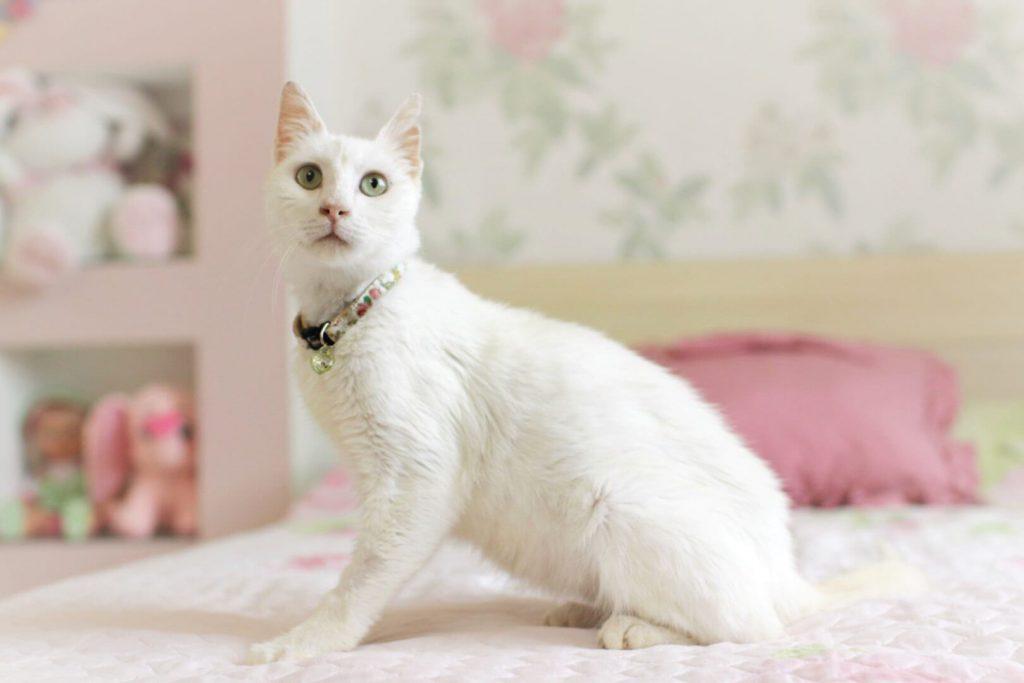 Особенности анатолийской кошки