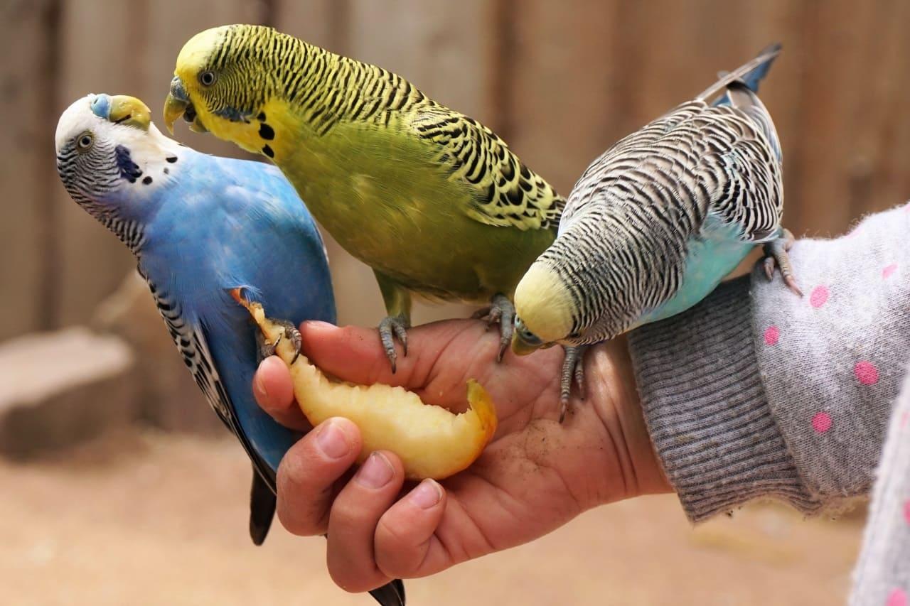 Фрукты для волнистых попугаев