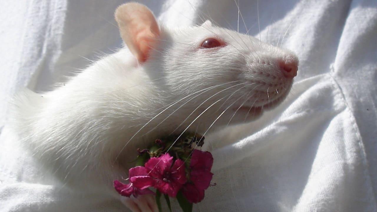 Помощь крысе при боли