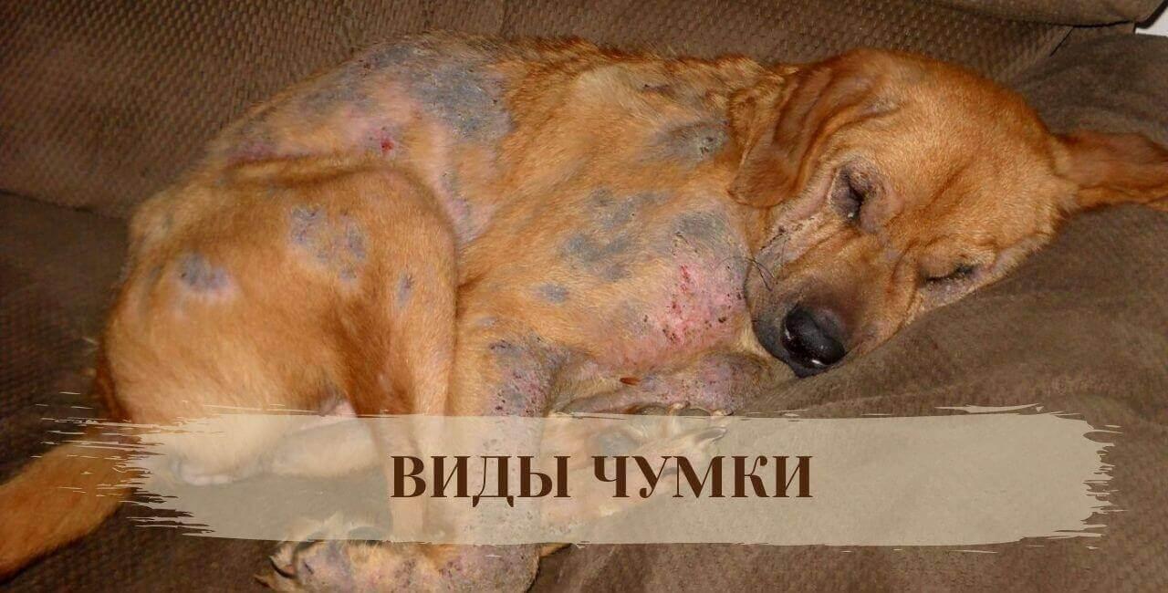 Виды чумки у собак