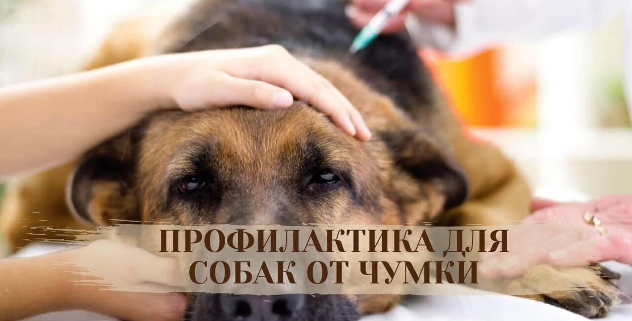 Профилактика для собак от чумки