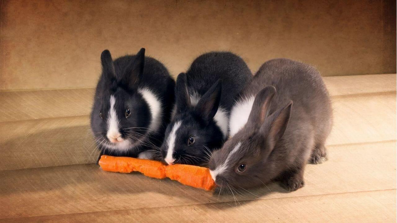 Рацион декоративных кроликов