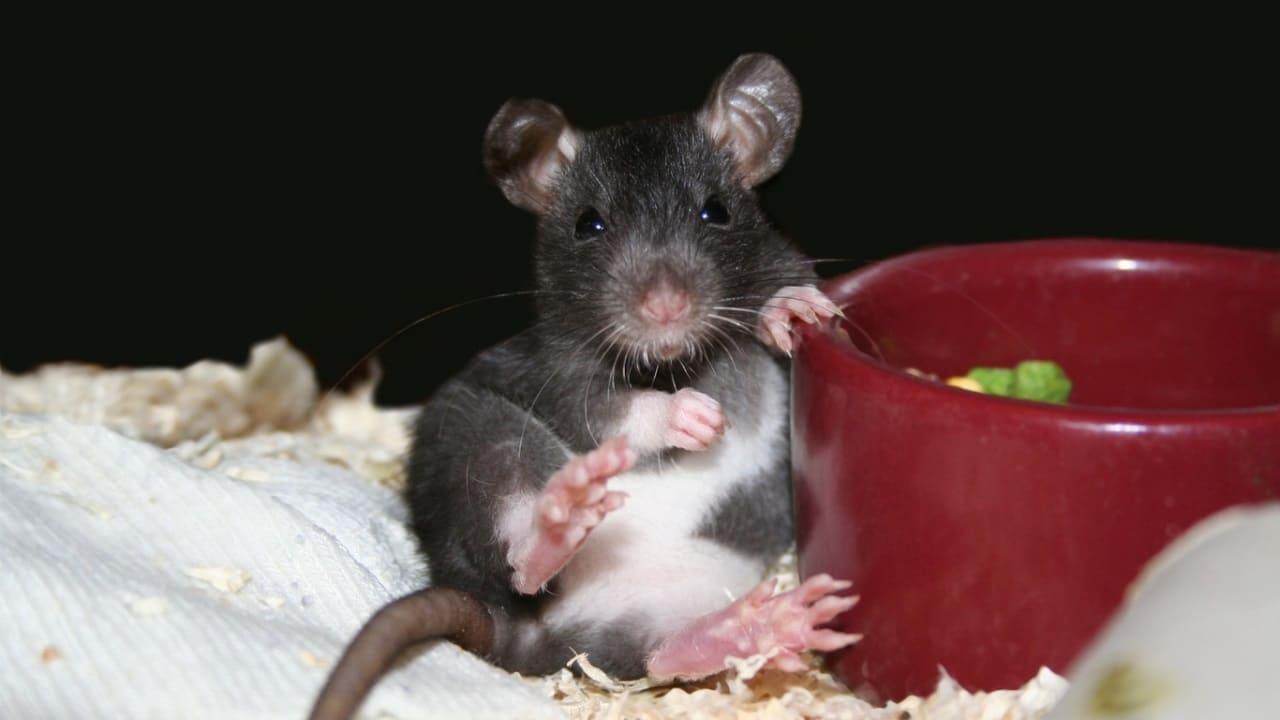 Пожилая крыска