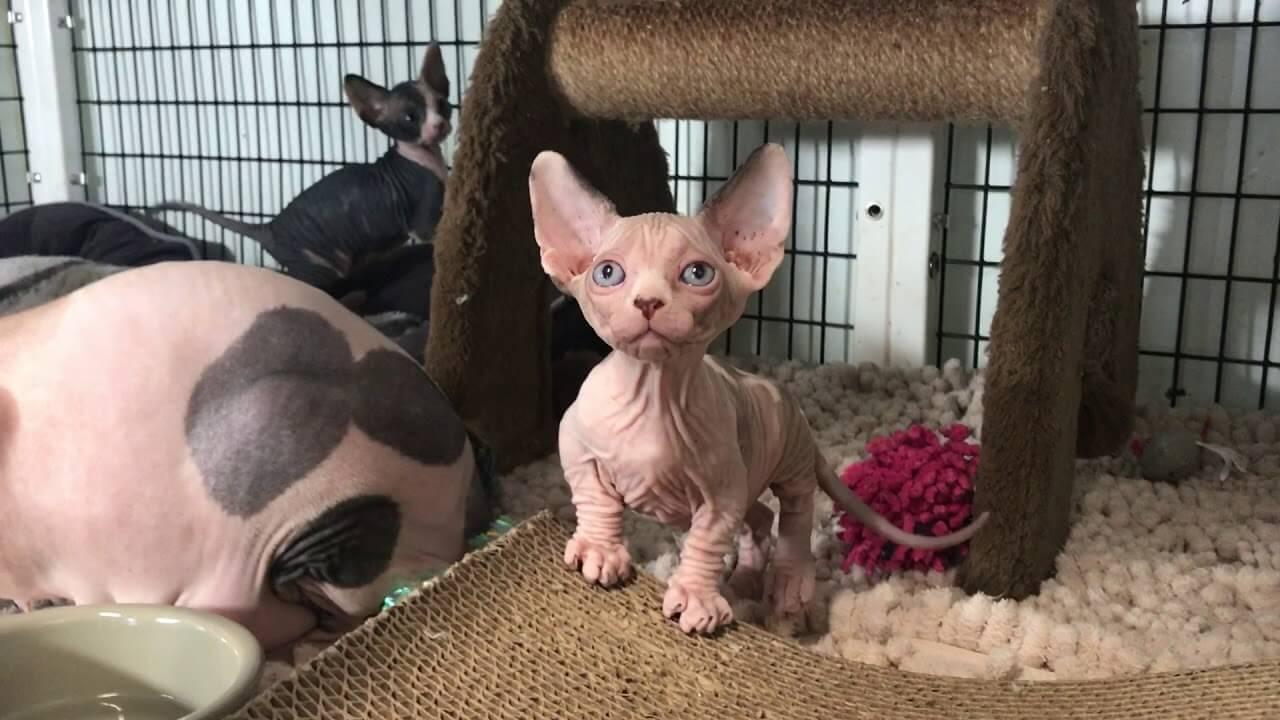 дрессировка кошки бамбино