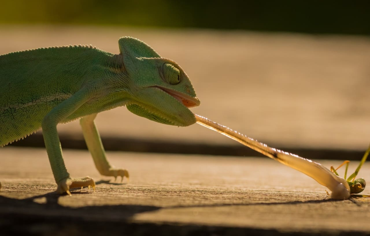 Питание хамелеона