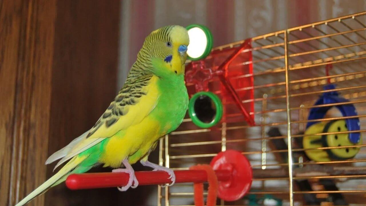 Клетка волнистого попугая