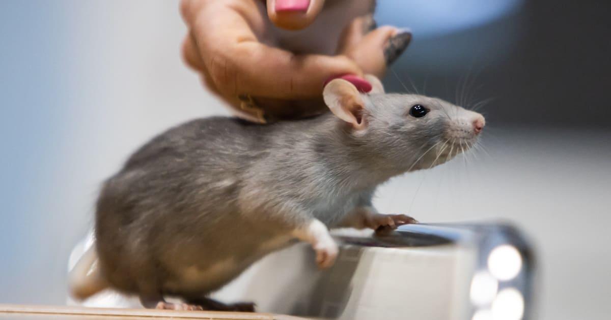 Уход за крысой при боли