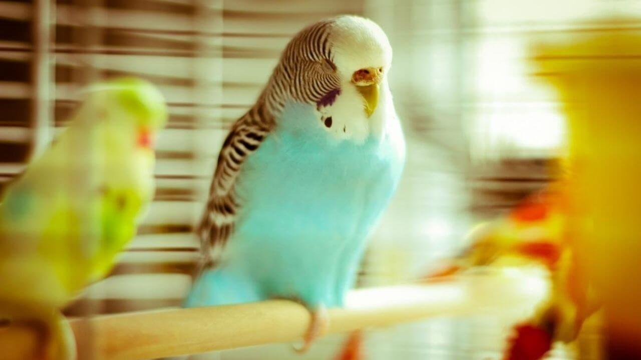 Покупка волнистого попугая