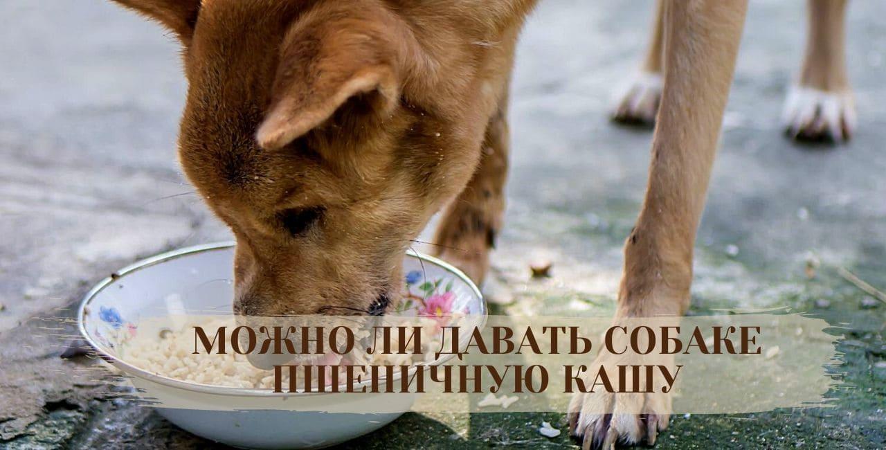 Можно ли давать собаке пшеничную кашу