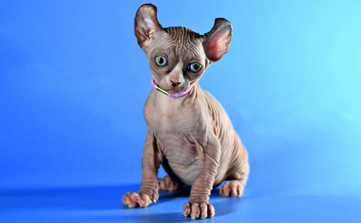 Распространенные заболевания эльфийских кошек