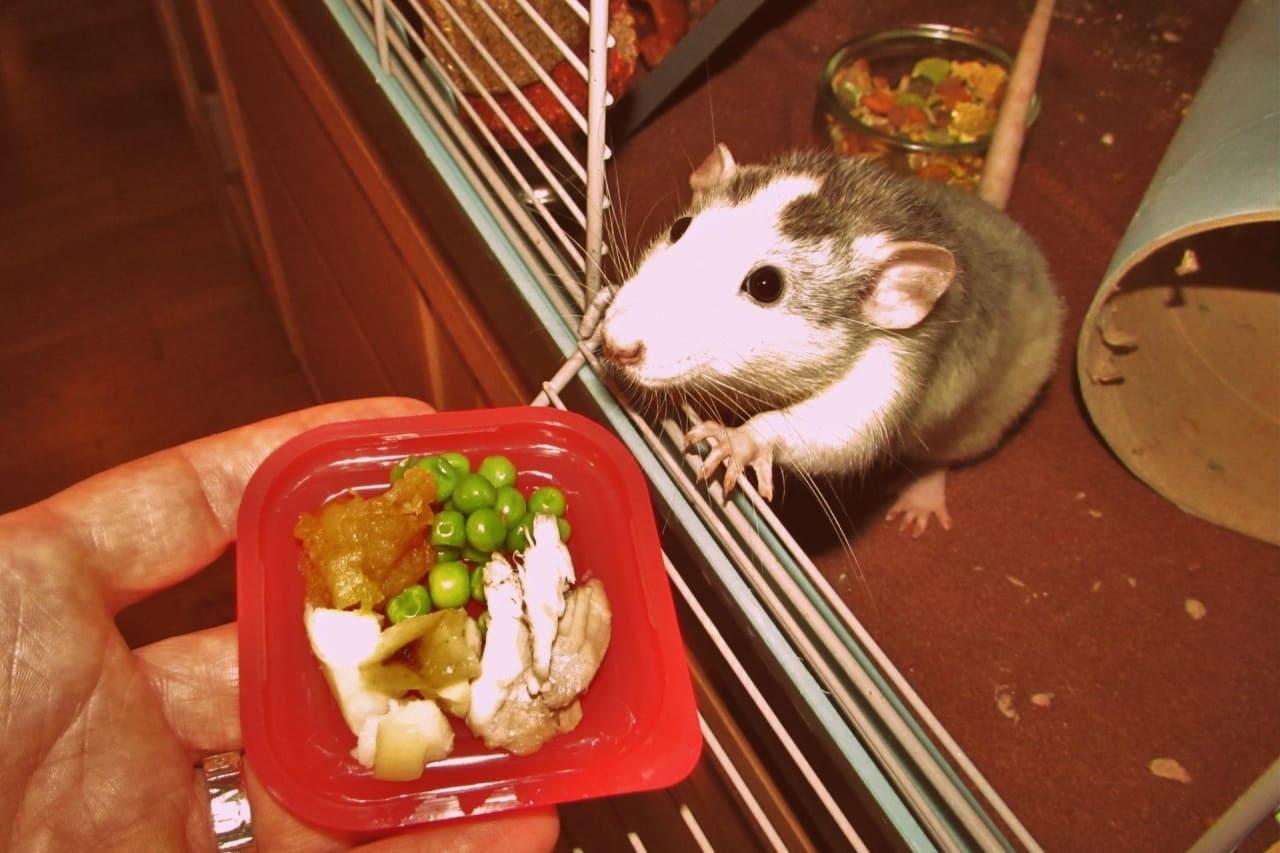 Питание для крысы