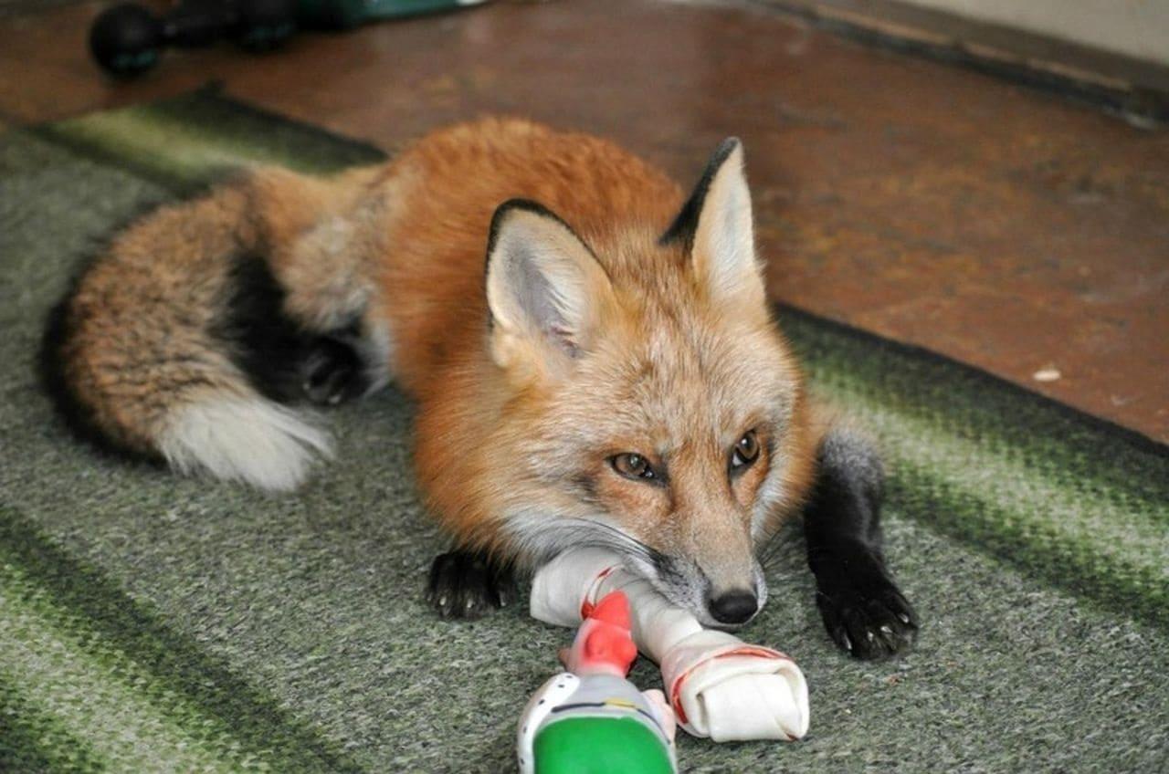 Может ли лиса быть домашним питомцем