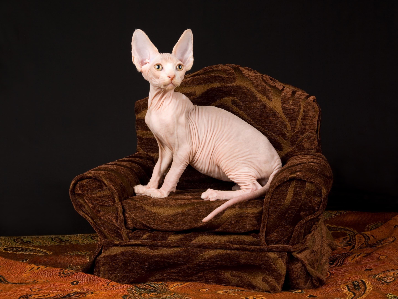 Котик без шерсти