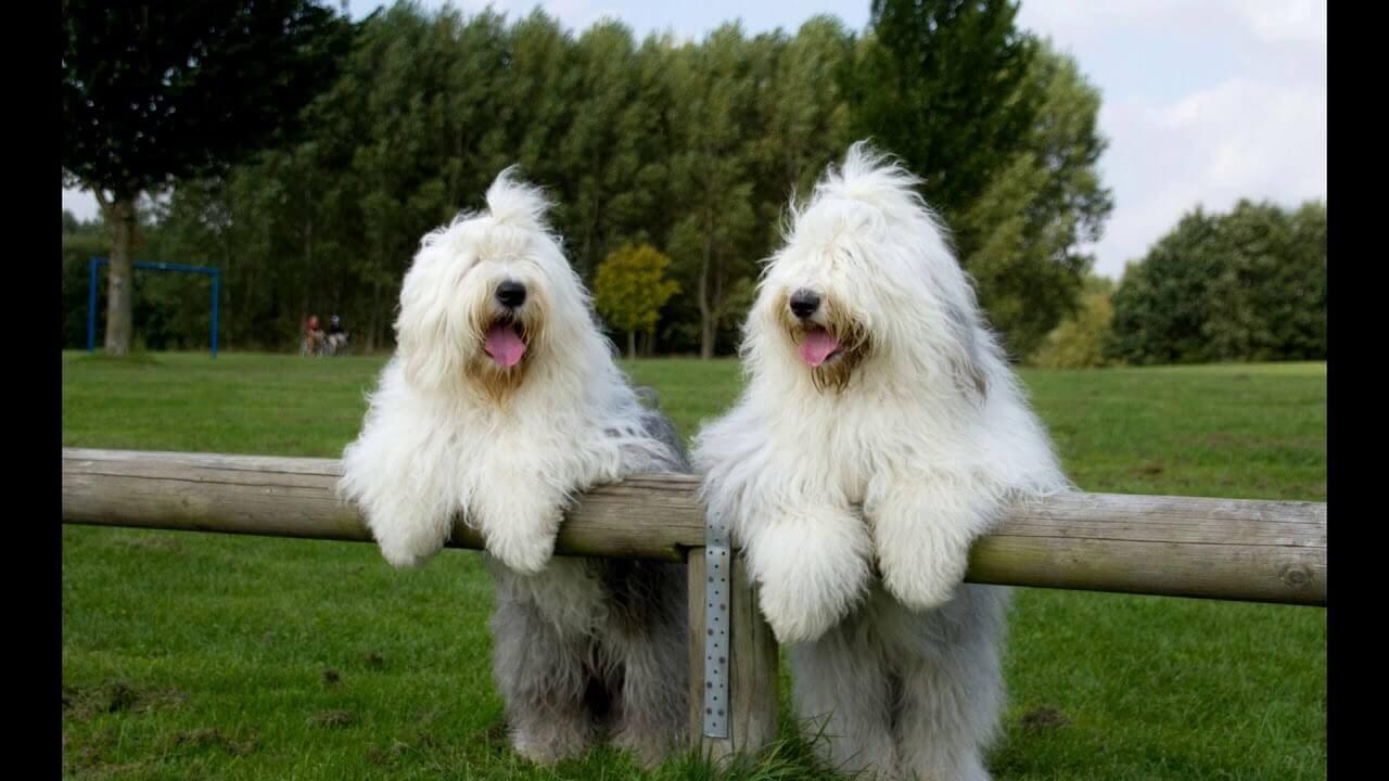 Бобтейл:чем кормить щенка