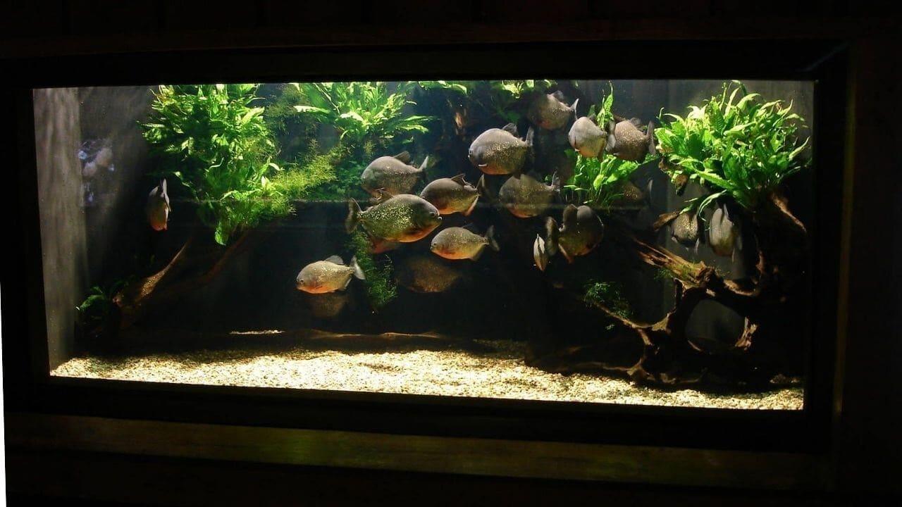 Обустройство аквариума для пираньи