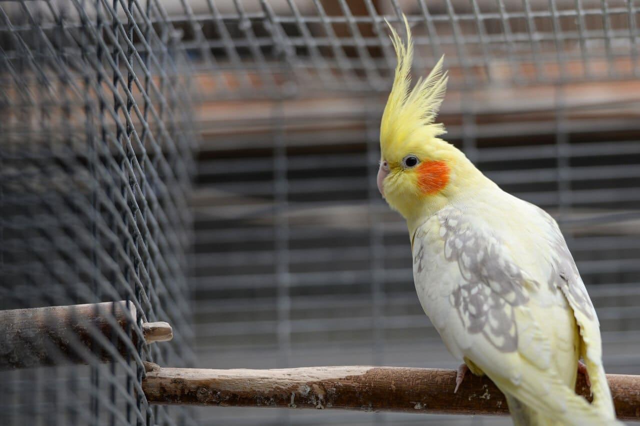 Определение пола попугая