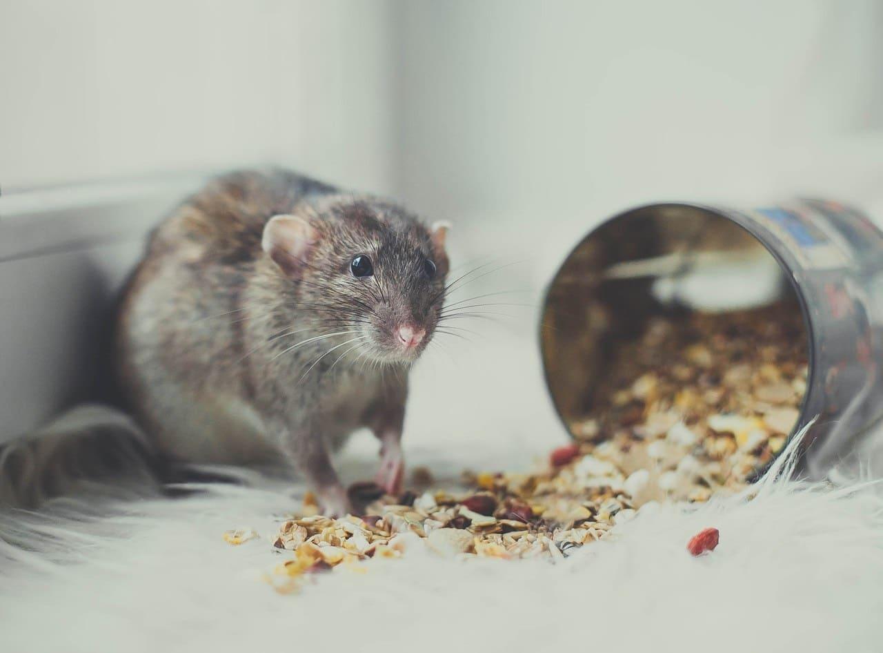 Почему крыса не ест