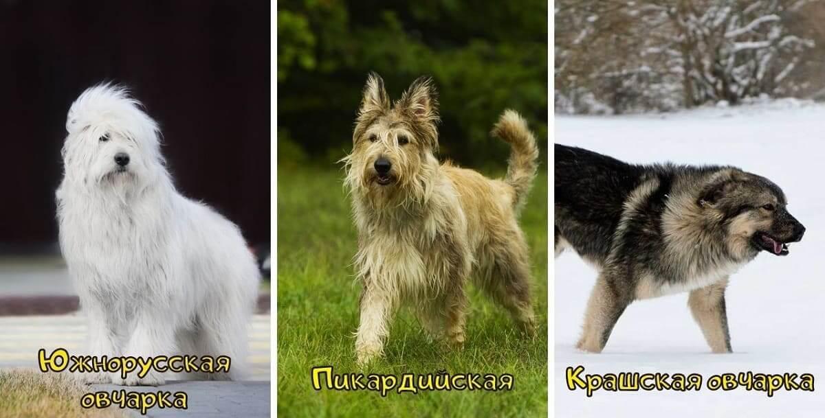 Фото Южнорусской Пикардийской и Крашской овчарок