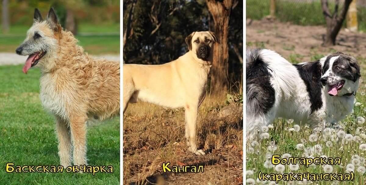 Фото Баскская Кангал Болгарская овчарки