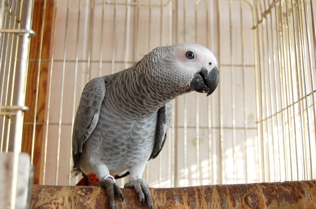 Попугай породы Жако
