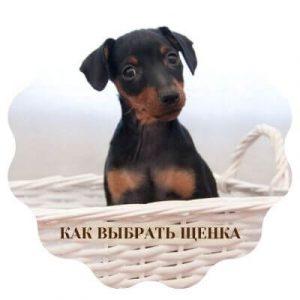 Как выбрать щенка карликового пинчера