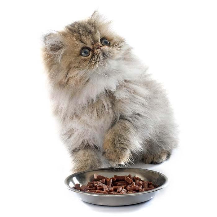 питание котёнка перса