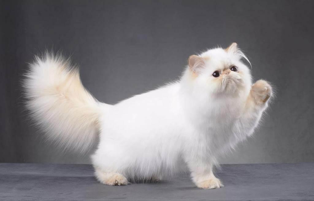 питание персидской кошки