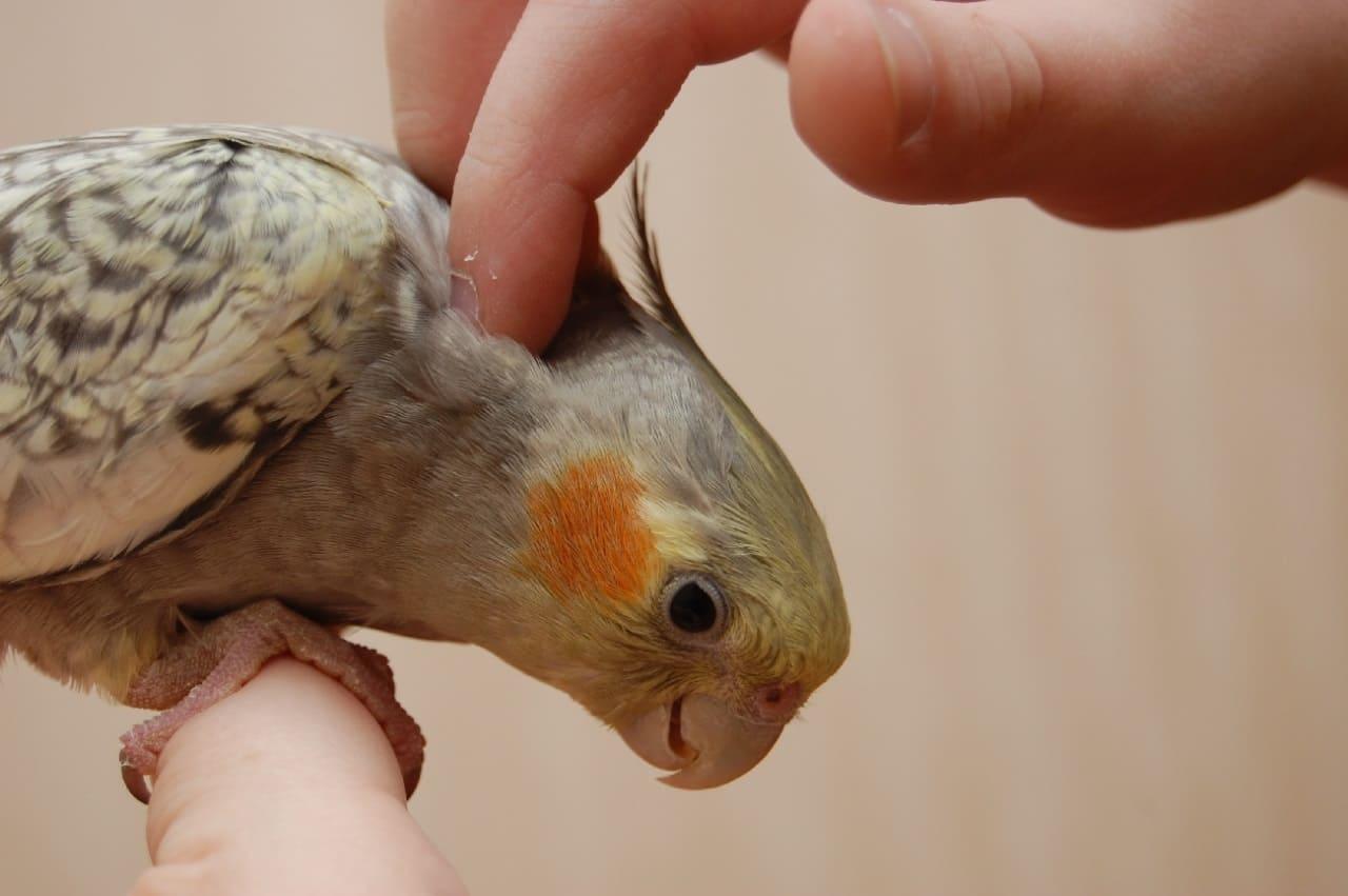 Чем кормить попугая Корелла