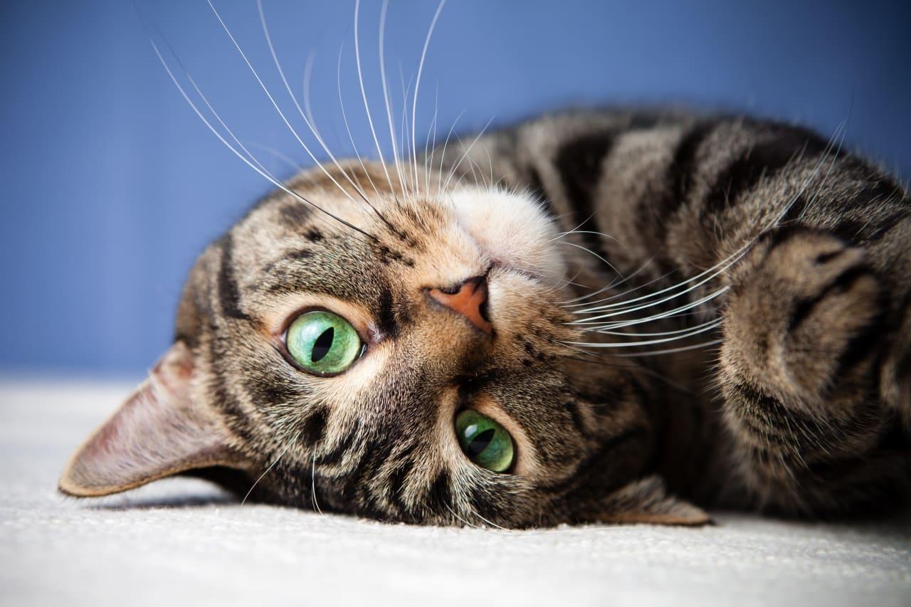 Можно ли кошкам молоко