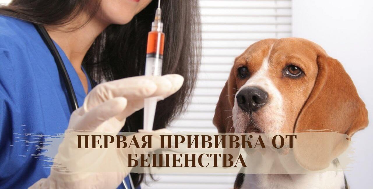 Когда делать первую прививку от бешенства собаке