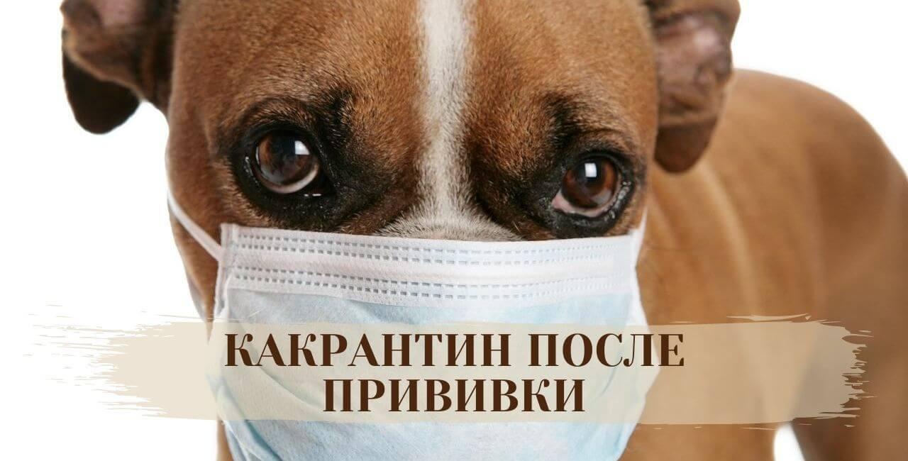 Карантин собаки после прививки